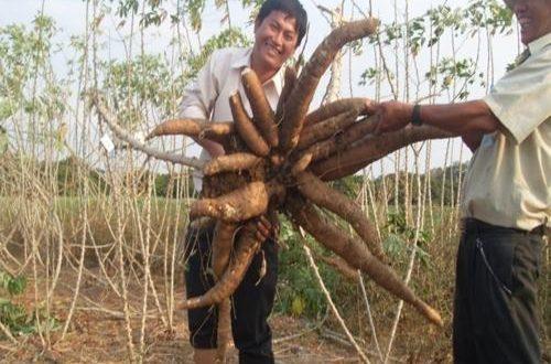 Cây sắn Việt Nam