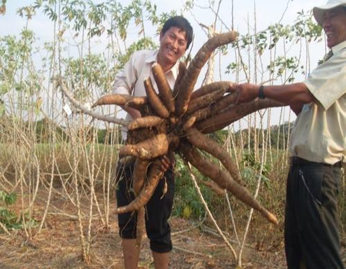 Cây Sắn Viêt Nam